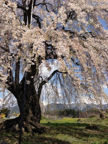 和美の桜3 (600x800).jpg
