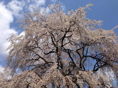 和美の桜5 (800x600).jpg